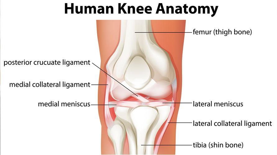 ΣΤΟΙΧΕΙΑ ΣΥΝΗΜΜΕΝΟΥ Image filter None human-knee-anatomy-diagram-chrysa-vafeiadi-physio